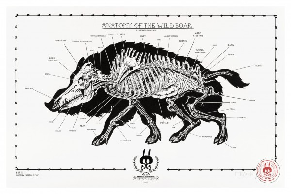 ANATOMY OF THE WILD BOAR: ANATOMY SHEET NO.15